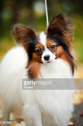 Papillon dogs in autumn : Bildbanksbilder