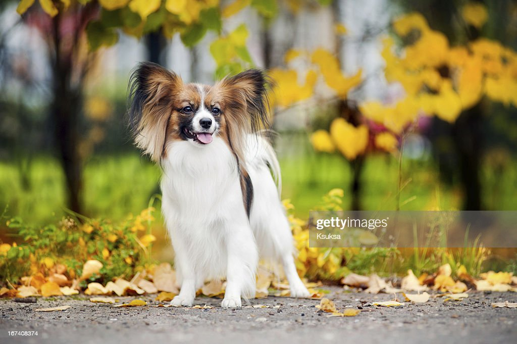 Papillon dogs in autumn : Stockfoto