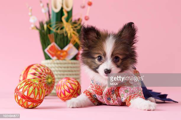 Papillon Puppy and Japanese New Year Celebration