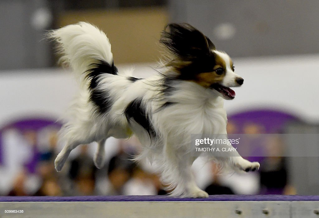 A Papillon runs the agility course during the 3rd Annual Masters Agility Championship on February 13, 2016 in New York, at the 140th Annual Westminster Kennel Club Dog Show. Dogs entered in the agility demonstrate skills required in the challenging obstacles that they will need to negotiate. / AFP / Timothy A. CLARY