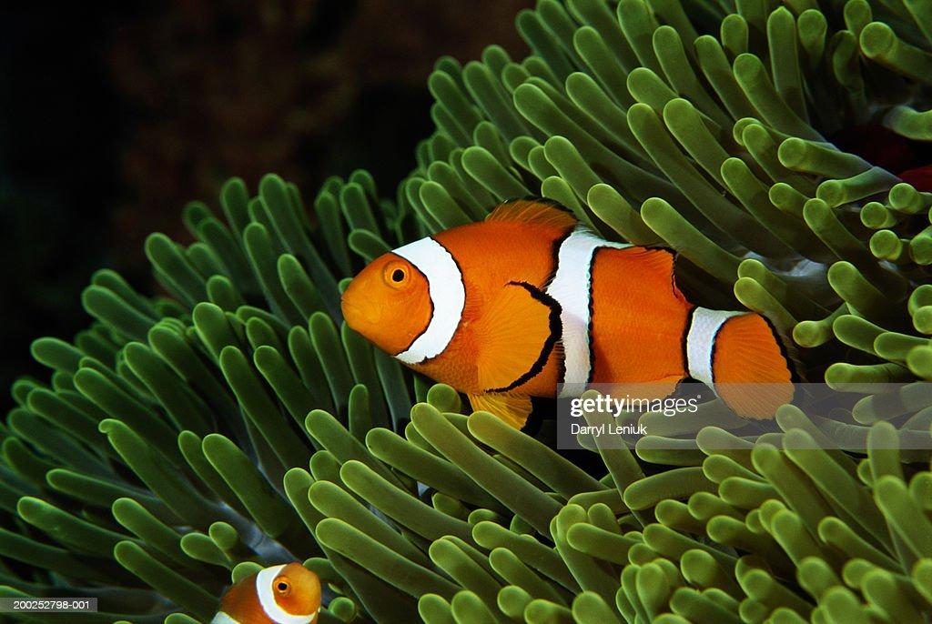 Papua New Guinea, false clown anemonefish and sea anemone, underwater view