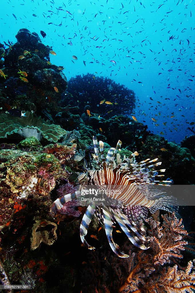 Papua New Guinea, lionfish on coral reef, underwater view : Stock Photo