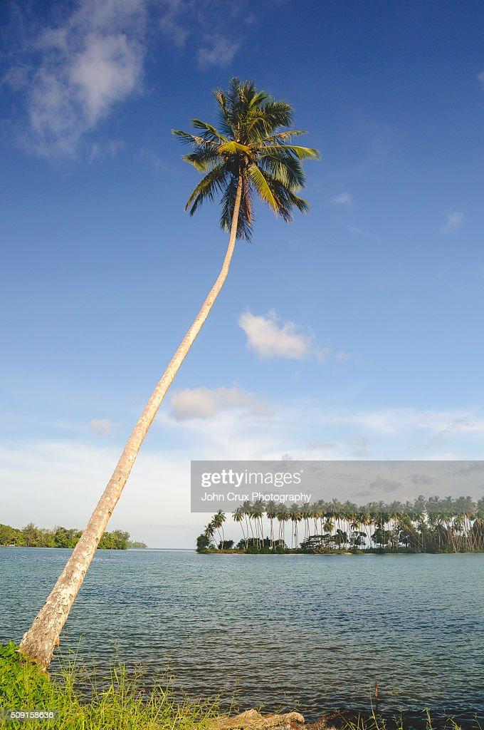 Papua New Guinea palm