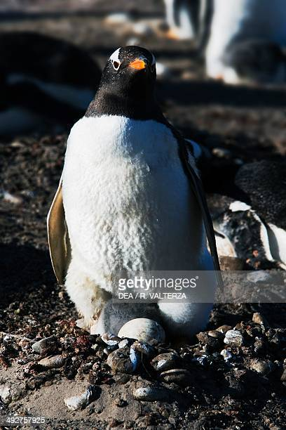 Papua penguin with a chick and one egg Spheniscidae The Neck north coast of Saunders Island Falkland or Malvinas Islands