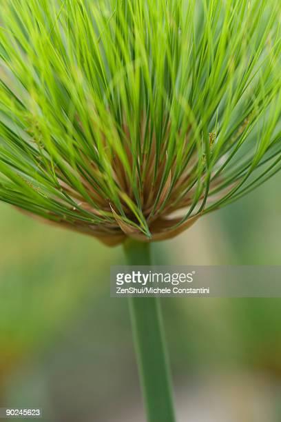 Papyrus plant (cyperus papyrus), close-up