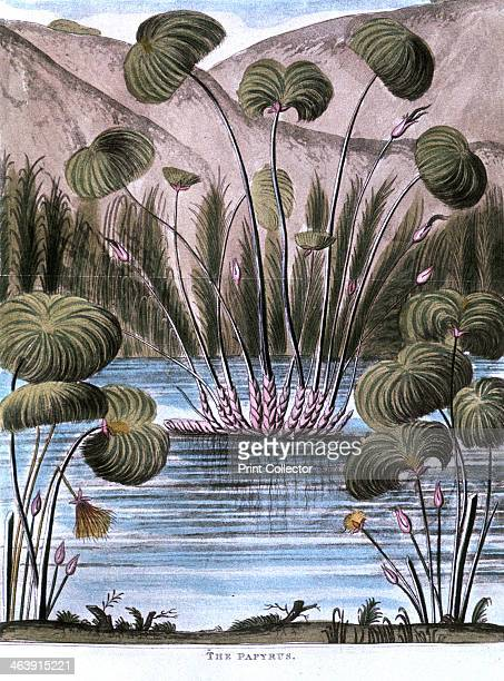 Papyrus reed 1823 The stem of the reed was used by the Ancient Egyptians to make a form of paper It was also used to produce fibre for sails mats and...