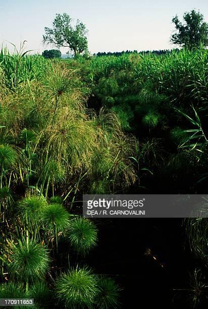 Papyrus sedge Coane River and Siracusa Salt flats Nature Reserve Sicily Italy