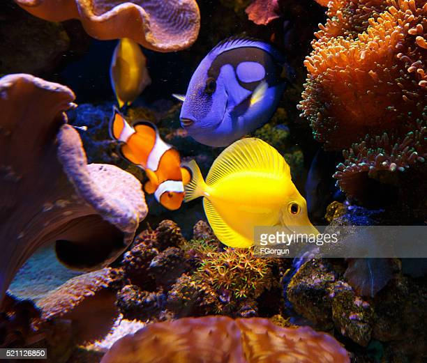 Paracanthurus hepatus and zebrasoma flavescens with Clownfish