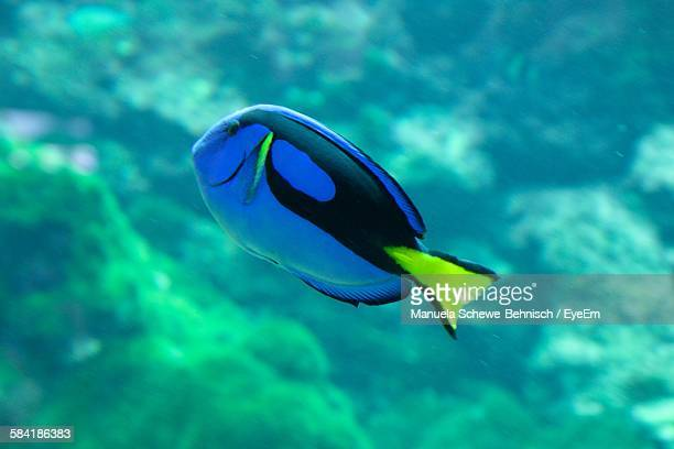 Paracanthurus Hepatus Swimming In Aquarium