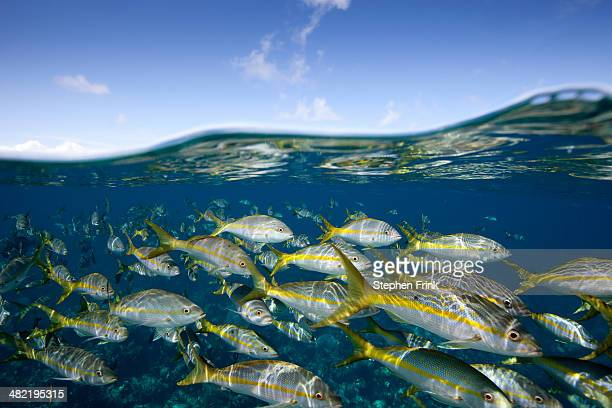 Parade of Yellowtail snapper.
