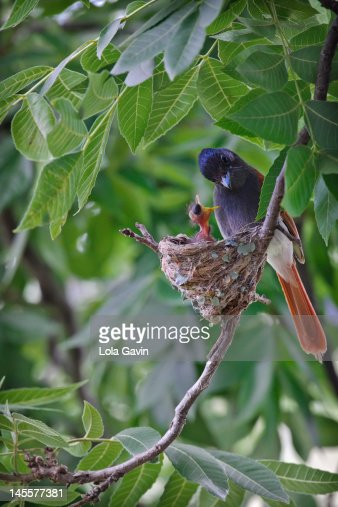 Paradise flycatcher female : Stock Photo