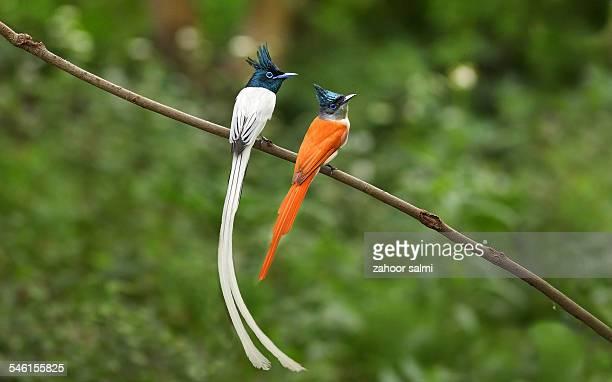 Paradise Flycature