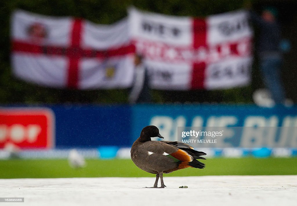 A Paradise Shelduck sits on the covers as the rain falls during day five of the international cricket Test match between New Zealand and England played at the Basin Reserve in Wellington on March 18, 2013. AFP PHOTO / Marty MELVILLE