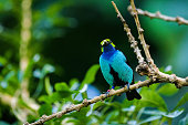 Paradise tanager sitting in a tree in the rainforest