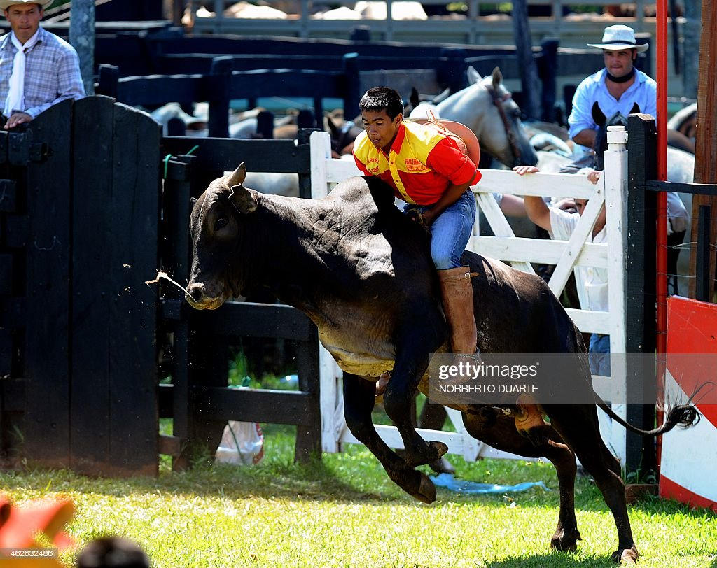 A Paraguayan gaucho rides a zebu bull on February 1 2015 during the Misiones Traditional Festival held yearly in Santiago Misiones some 270 km south...