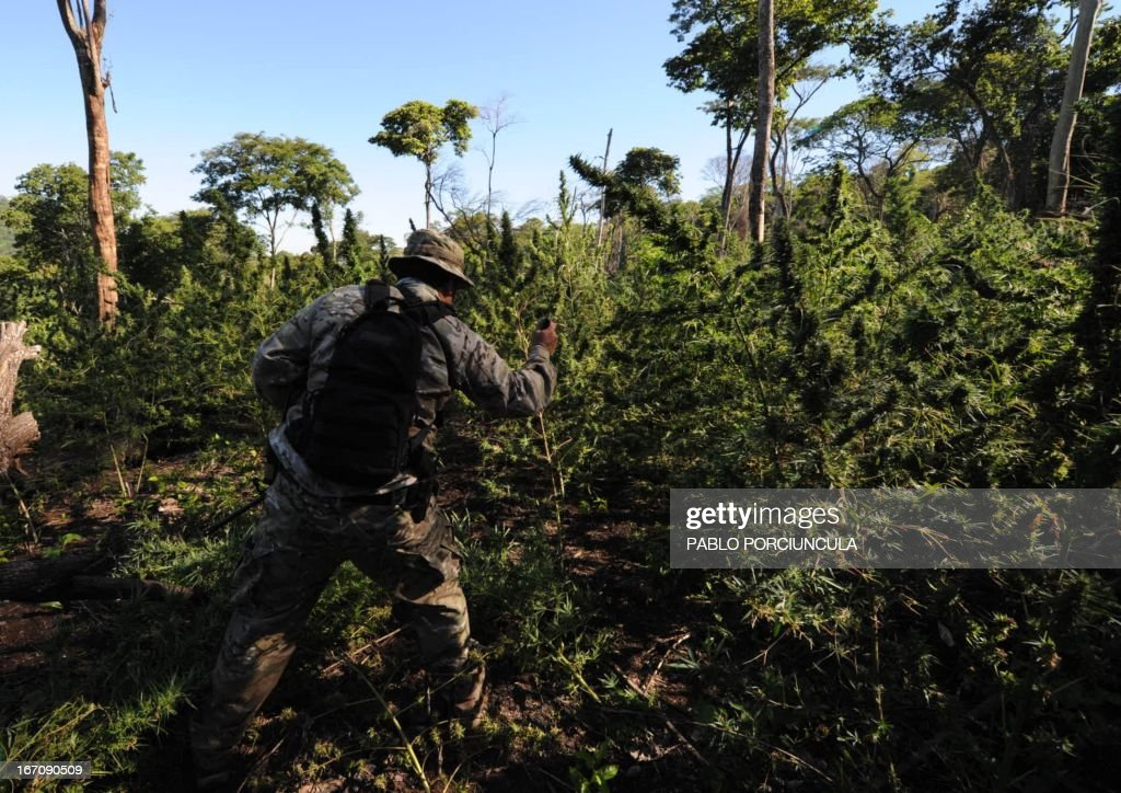 A Paraguayan SENAD (Antidrug National Agency) member cuts marijuana plants found in a marijuana grower's improvised camp into the woods in Pedro Juan Caballero (border with Brazil) 550 km northeast of Asuncion on April 19, 2013. AFP PHOTO/Pablo PORCIUNCULA