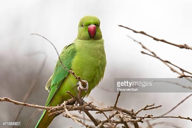 Parakeet close-up