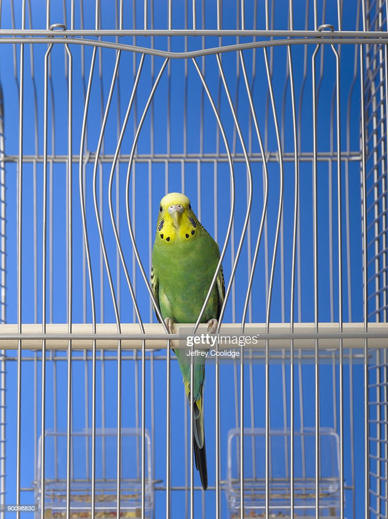 Parakeet in cage with bent bars : Stock Photo