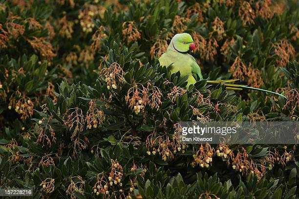 Parakeet sits in a bush in St James's Park on a cold winter's day on November 30 2012 in London England Weather warnings have been issued as...