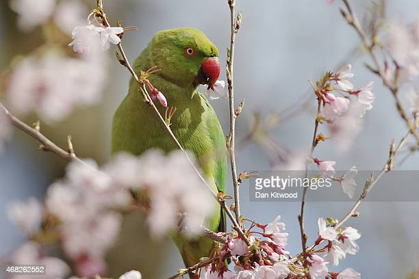 Parakeet sits on a blossom branch in St James's Park on April 1 2015 in London England Despite the sun making a brief appearance today strong gales...