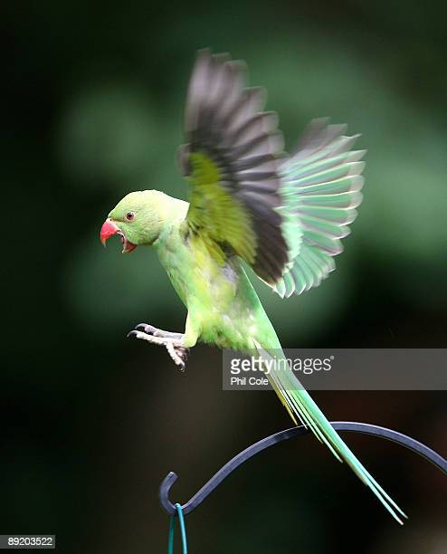 Parakeets feed from a bird feeder in a domestic back garden in Charshalton Beeches on July 23 2009 in London England Around 90% of the UK's...