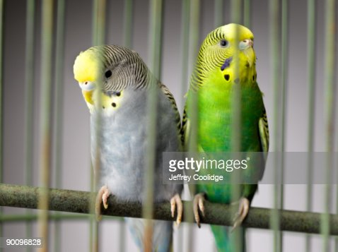 Parakeets in Cage : Stock Photo