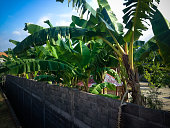 Parapet Wall Building And Spacious Garden Yard Of The House With Banana Trees In Bali, Indonesia