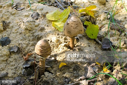 Parasol mushrooms (Macrolepiota procera or Lepiota procera) in forest : Stockfoto