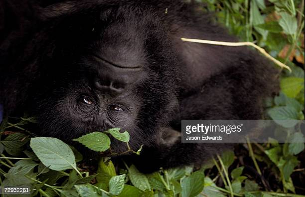 A Mountain Gorilla relaxes in the cool shade of a tropical rainforest.