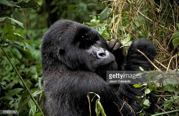 Male Silverback Mountain Gorilla feeding in a tropical rainforest.
