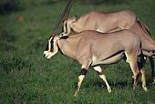 A Pare of Walking Oryx, Differential Focus, Side View