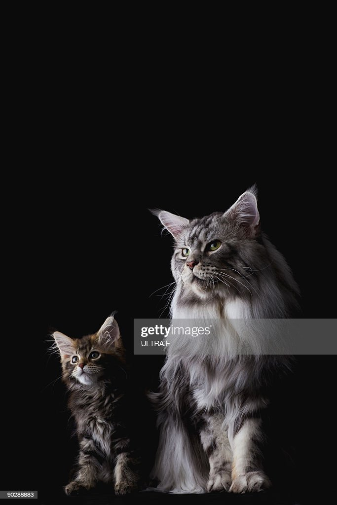 Parent and child of Maine coon cat : Stock Photo