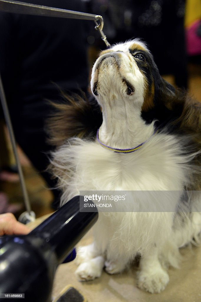 Pari, an English Toy Spaniel, gets a blow dry before judging at the Westminster Kennel Club Dog Show February 11, 2013 in New York. AFP PHOTO/Stan HONDA