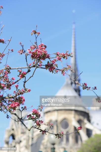 Paris, Notre-Dame area, springtime, tree blossoming in front of Notre-Dame. 27 March 2017