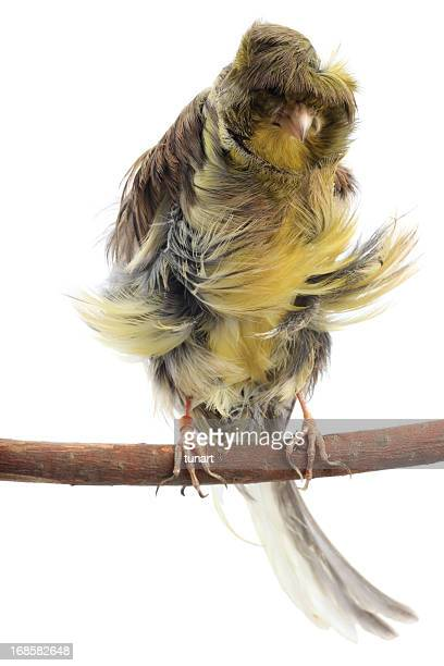 Parisian Frilled Canary On White Background