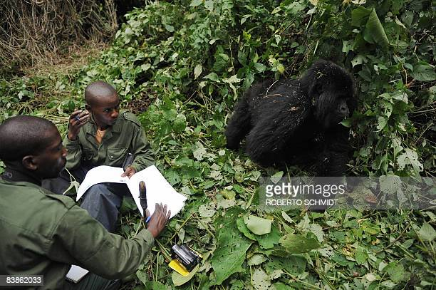 Park rangers Innocent Mburanumwe and Sekibibi Dareke stay quiet as an adult gorilla pushes by as they take notes while conducting a gorilla...