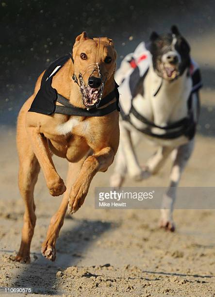 Parkwest Leo in action in the 6th race at the Brighton and Hove Greyhound Stadium on March 23 2011 in Brighton England