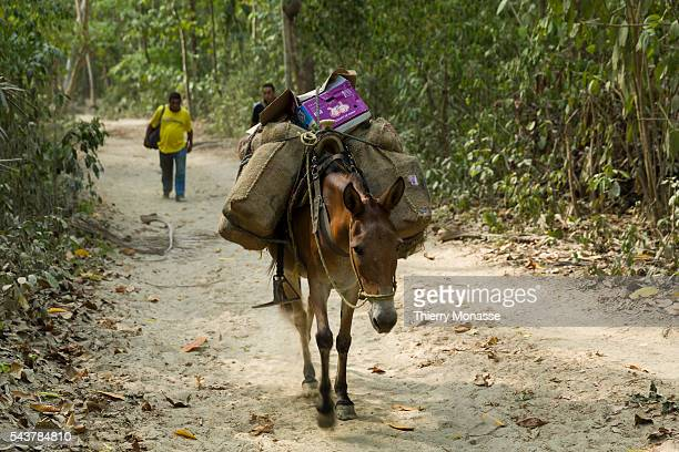Parque Nacional Natural Tayrona Magdalena State Colombia August 20 2015 A Donkey is bringing food in the forest Tayrona National Natural Park is a...