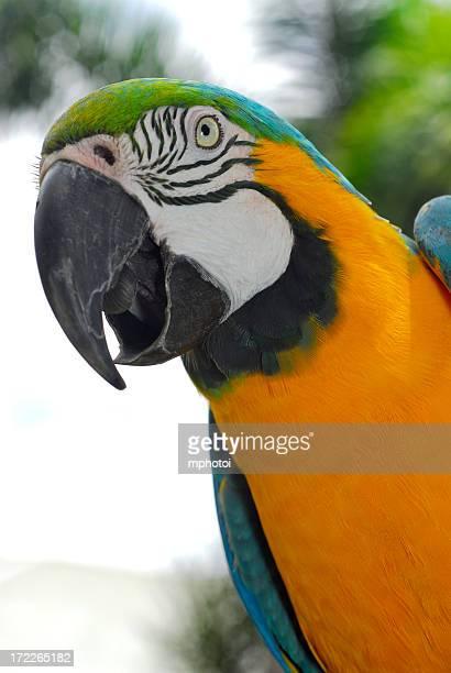 Parrot close-up