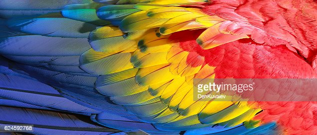 Parrot feathers, red, yellow and blue exotic texture : Stock Photo