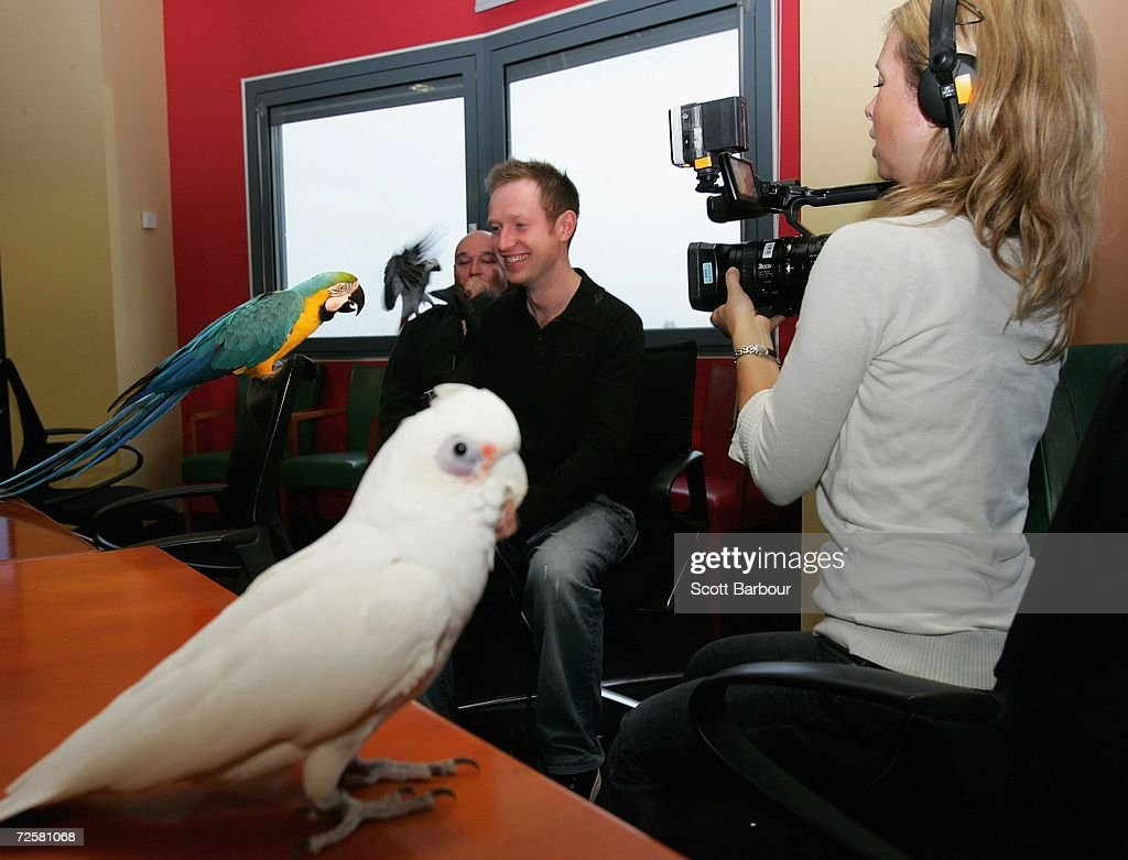 A parrot is interviewed during screen tests held to find the official spokesparrot for the launch of 'Pirates of the Caribbean Dead Man's Chest' DVD...