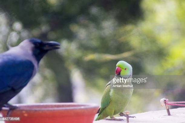 Parrot looking at a crow sitting on a food dish