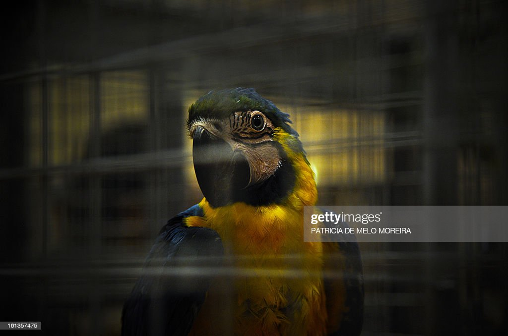 A parrot looks on in his cage during a pet festival in Lisbon on February 9, 2013. AFP PHOTO/ PATRICIA DE MELO MOREIRA