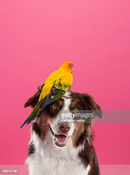 Parrot on Border Collie's Head