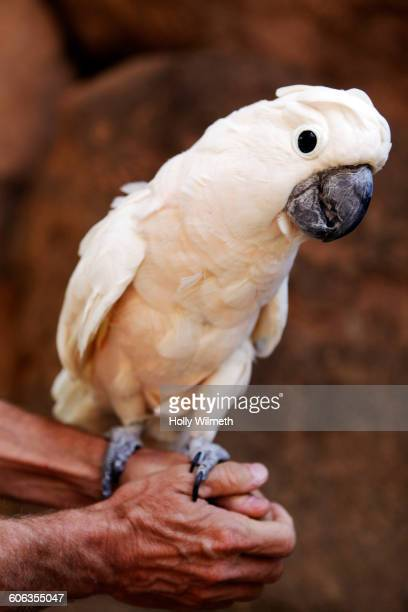 Parrot perching on clasped hands