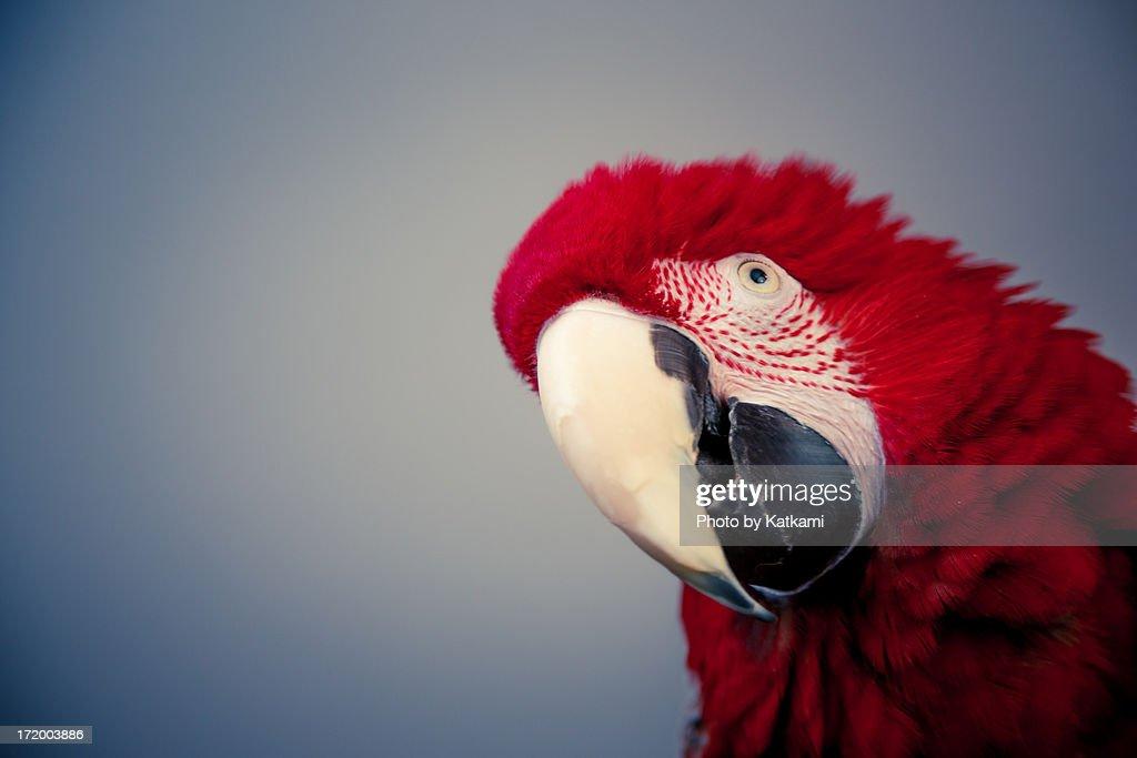 parrot : Stock Photo