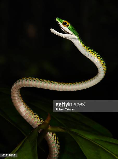 A parrot snake rising up with mouth agape