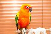 Parrot, sun conure, standing on the perch in the house