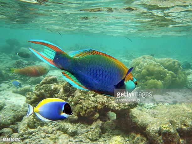 Parrotfish (Scarus frenatus) and Powderblue Surgeonfish (Acanthurus leucosternon)