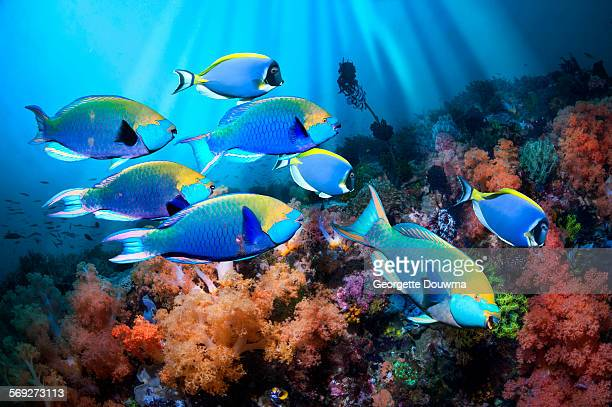 Parrotfish and soft corals
